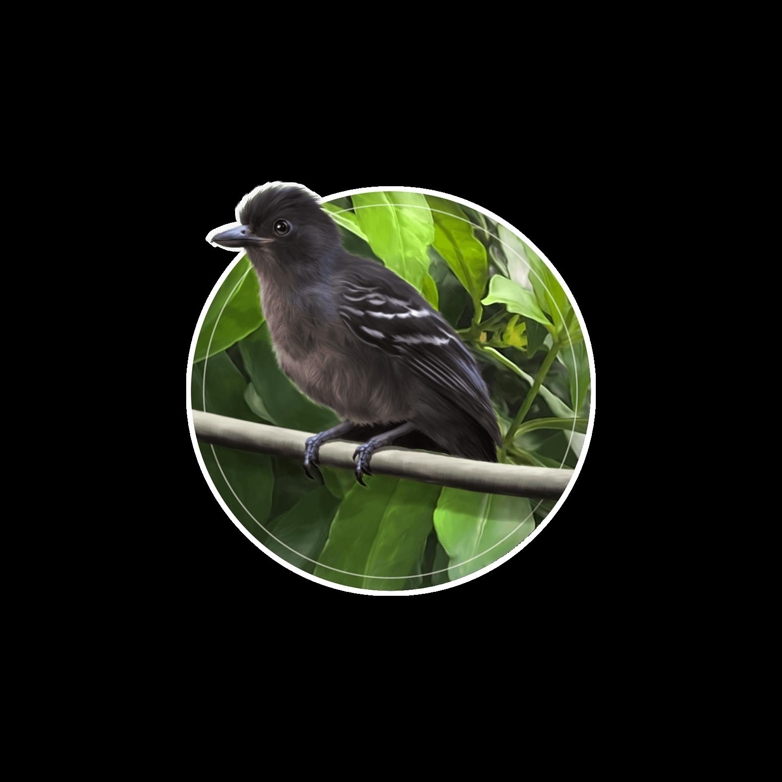 Ilustração do pequeno pássaro choca-preta-e-cinza em galho de árvore